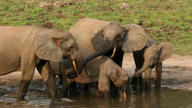 the-forest-elephant-and-its-importance-for-the-environment