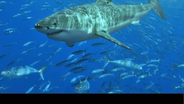 great-white-sharks1