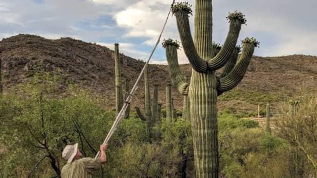 IMG_20190629_062302-Bella Pic CN Harvesting Saguaro Fruit