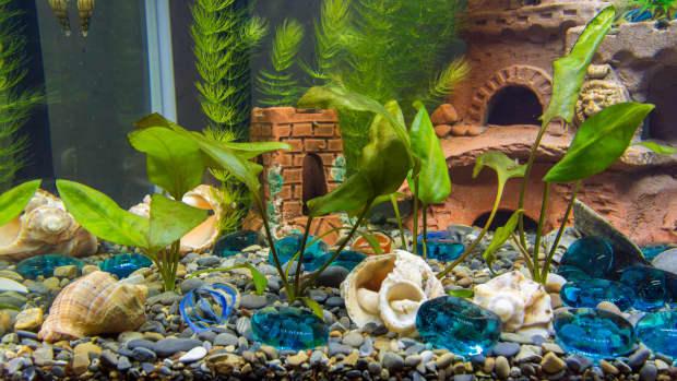 freshwater-aquarium-snails