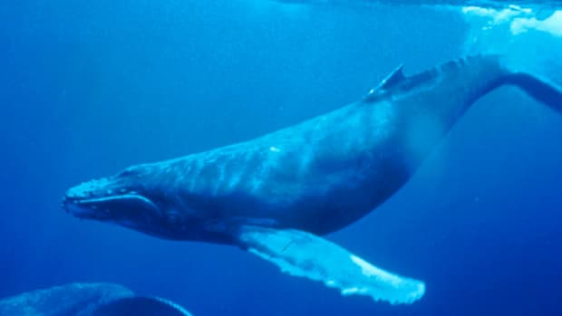 humpback-whales-a-brief-analysis