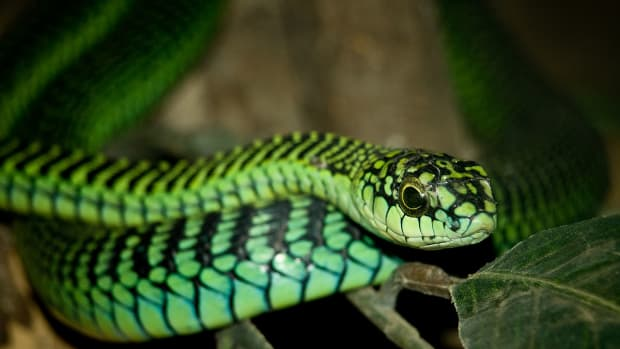 the-highly-venomous-boomslang-a-brief-analysis