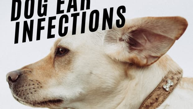 dog-ear-infections-signs-home-remedies-and-how-to-clean-dog-ears