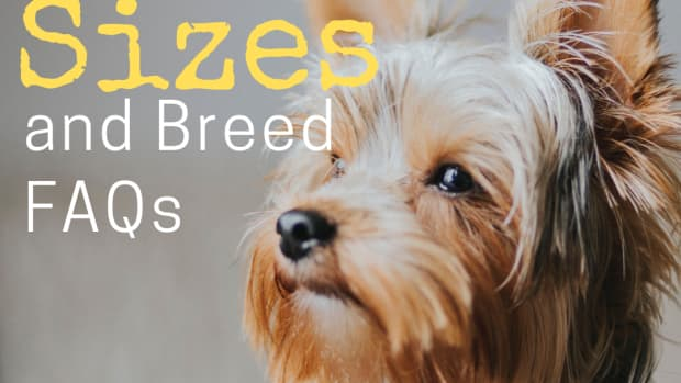 yorkie-sizes-big-standard-and-small-yorkshire-terriers