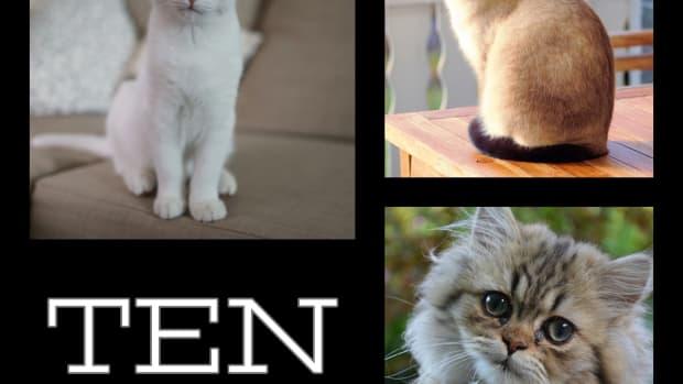 top-10-smartest-cat-breeds