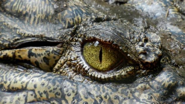 new-york-city-sewer-alligators