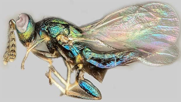 the-crypt-keeper-wasp-a-hyperparasite-and-effects-on-its-host