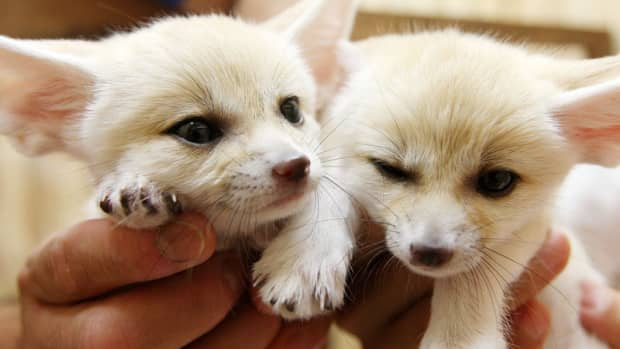 fennec-foxes-as-pets