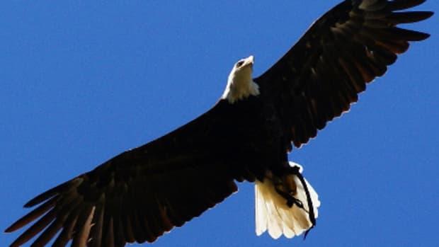 eagle-wings