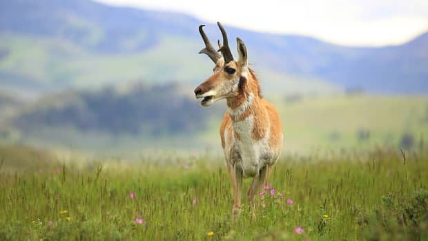 how-to-hunt-pronghorn