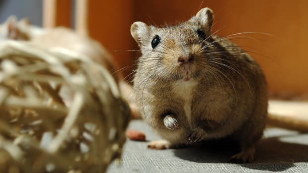 how-to-take-care-of-your-gerbils