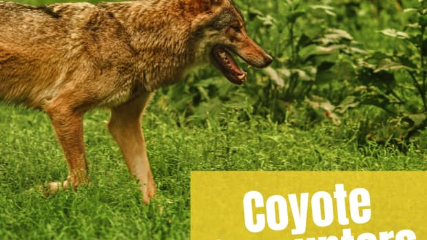 what-to-do-if-you-see-a-coyote-while-walking