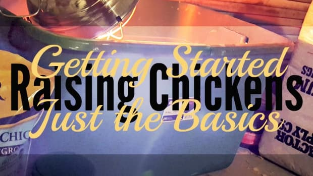raising-chicken-getting-started-with-just-the-basics