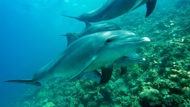 are-dolphins-endangered