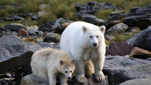 white-kermode-or-spirit-bear-official-mammal-of-british-columbia