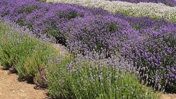 lavender-english-cotswolds