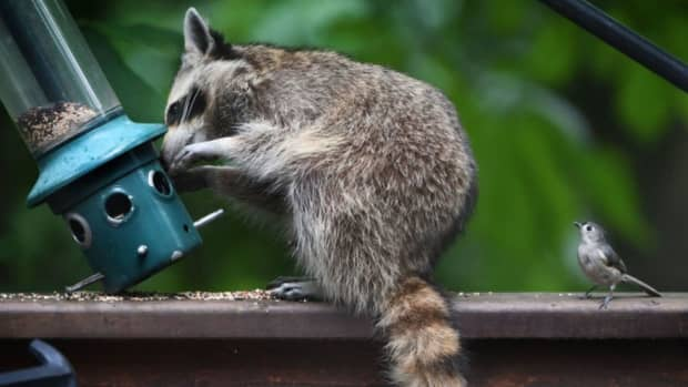 you-may-be-smarter-than-a-fifth-grader-but-can-you-outsmart-a-raccoon