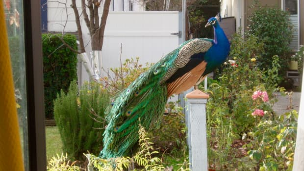 wild-versus-feral-peacocks-in-southern-california