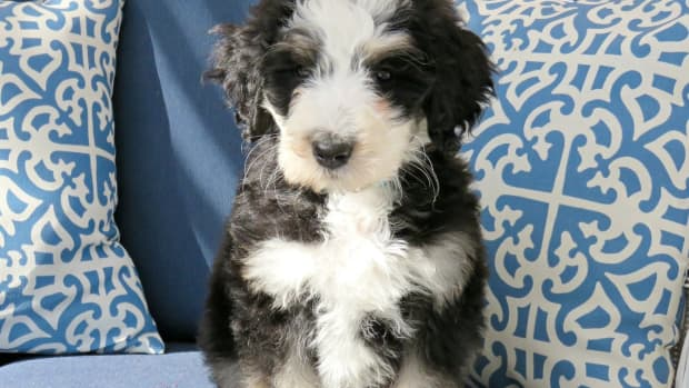 hypoallergenic-dogs-for-your-apartment