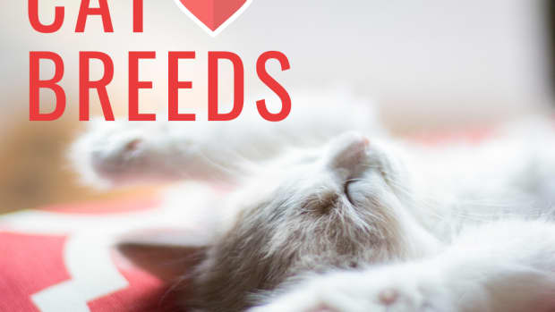 10-most-affectionate-cat-breeds-that-love-to-cuddle