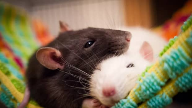 why-rats-will-always-be-by-your-side