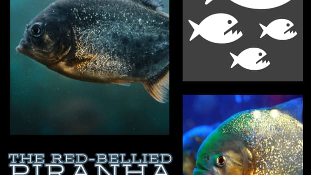 the-red-bellied-piranha-an-analysis