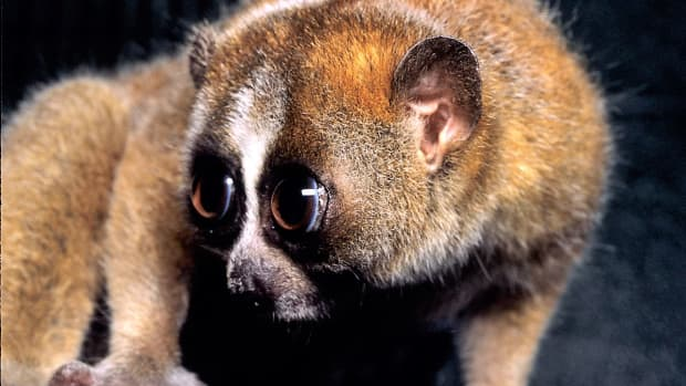 slow-lorises-venom-facts-and-a-related-cat-secretion