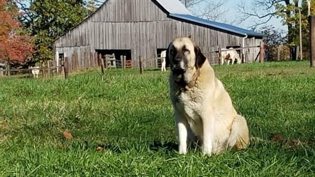 foxy-foray-a-life-on-the-farm-story
