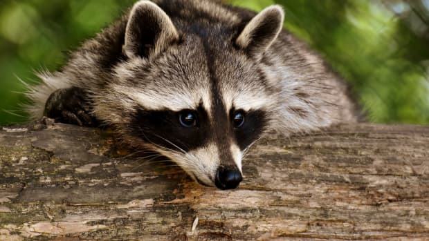 teddys-burial-and-resurrection-the-unique-life-of-a-tennessee-raccoon