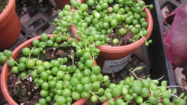 how-to-grow-string-of-pearls-indoors-or-outdoors