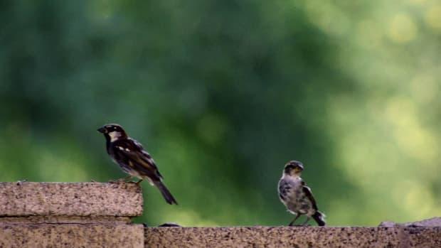 house-sparrow-on-the-wall