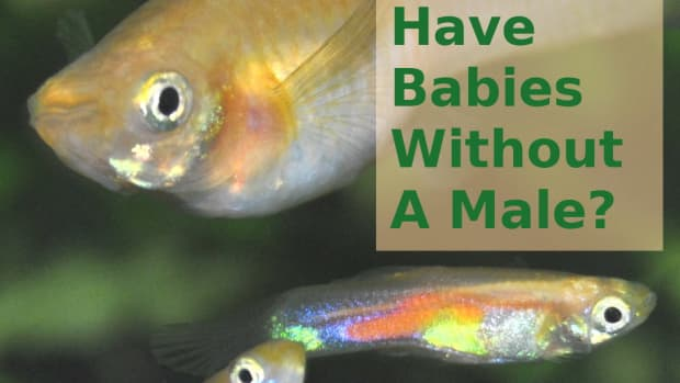 can-guppies-have-babies-without-a-male