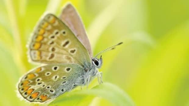 butterflies-flying