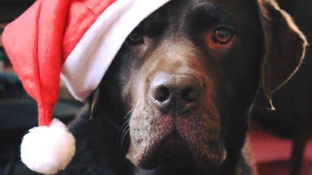 10-ways-christmas-can-be-dangerous-for-your-dog-and-how-to-avoid-them