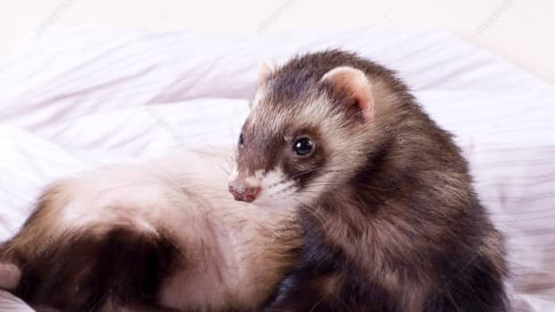 covid-10-and-ferrets-what-you-should-know