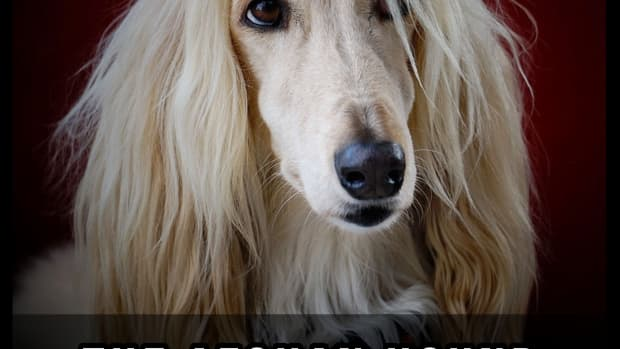 the-afghan-hound-a-guide-for-owners