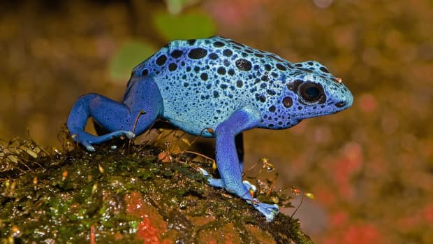 colorful-frogs-amphibian-photos-and-interesting-facts