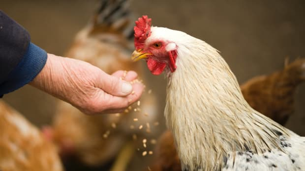 must-haves-in-your-chickens-diet