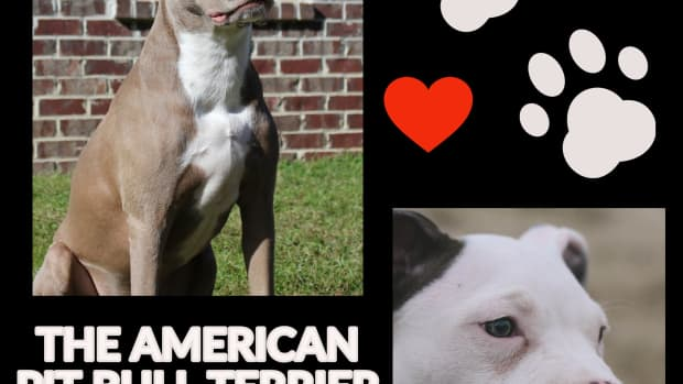 the-american-pit-bull-terrier-a-guide-for-owners