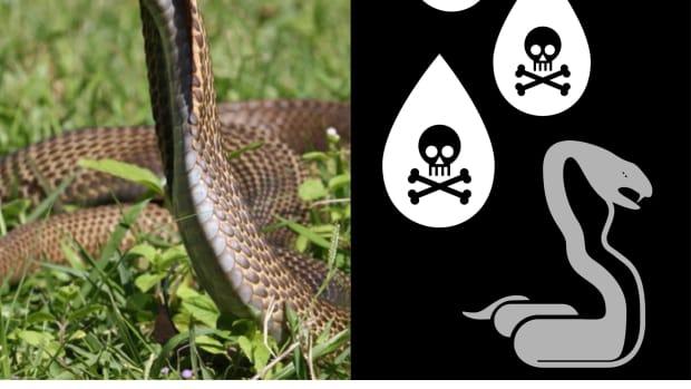 the-philippine-cobra