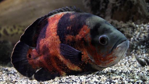 large-freshwater-aquarium-fish