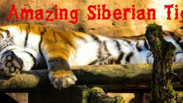 the-big-cats-series-the-siberian-tiger