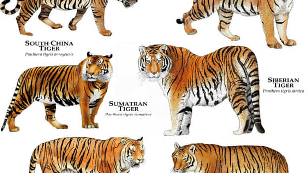 the-big-cat-series-tigers-of-the-world