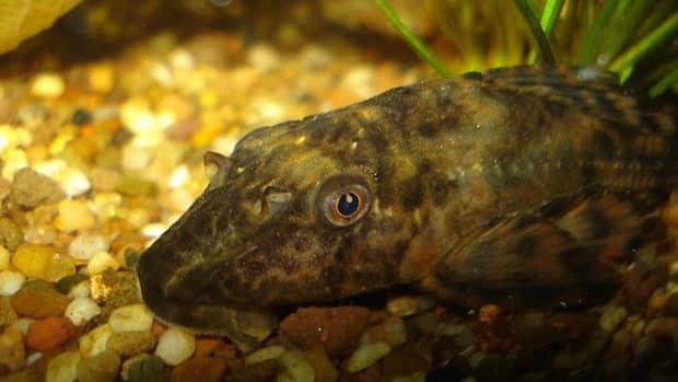 common-plecostomus-fish-care