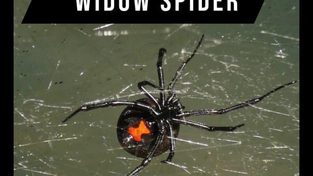 the-black-widow-spider2