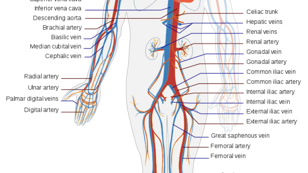 4-main-parts-of-circulatory-system-and-how-it-works