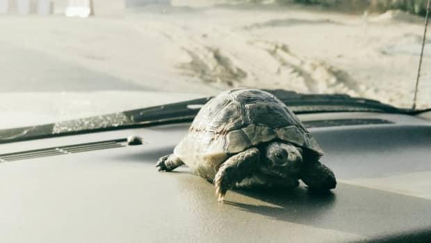 bringing-home-a-greek-tortoise-spur-thighed
