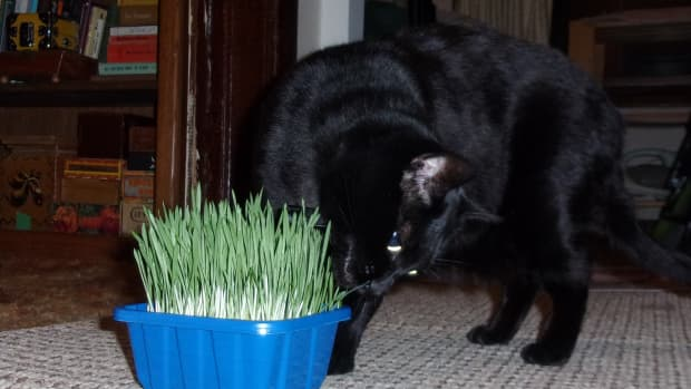 how-to-grow-wheat-grass-for-your-cat