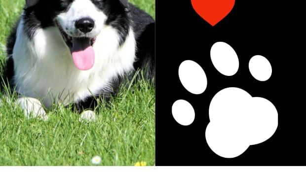 the-border-collie1