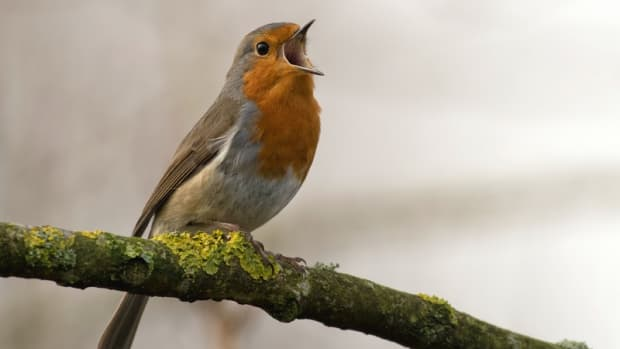 dawn-chorus-birdsong